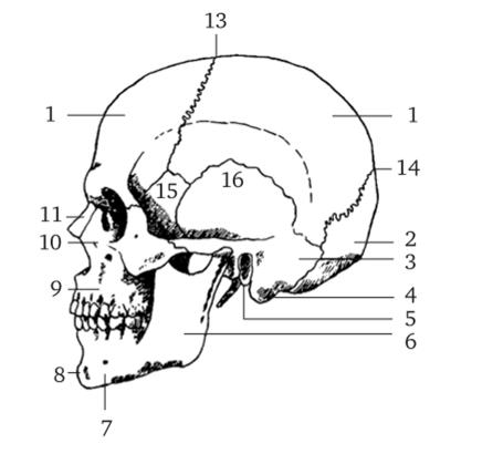 первая ГОЛОВА, Скелет - ПЛАСТИЧЕСКАЯ АНАТОМИЯ