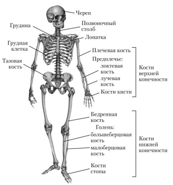 мамы биология скелет картинки имя айна это