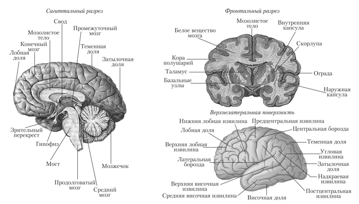 Картинка схемы головного мозга