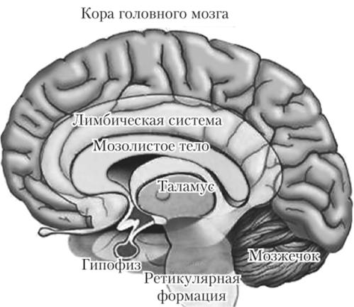 Строение отделов головного мозга - АНАТОМИЯ И ФИЗИОЛОГИЯ ЧЕЛОВЕКА