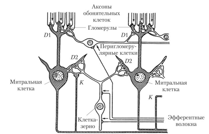 Схема слоев в обонятельной луковице