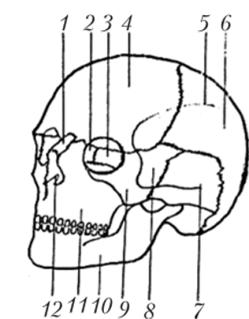 Череп (вид спереди, слева)