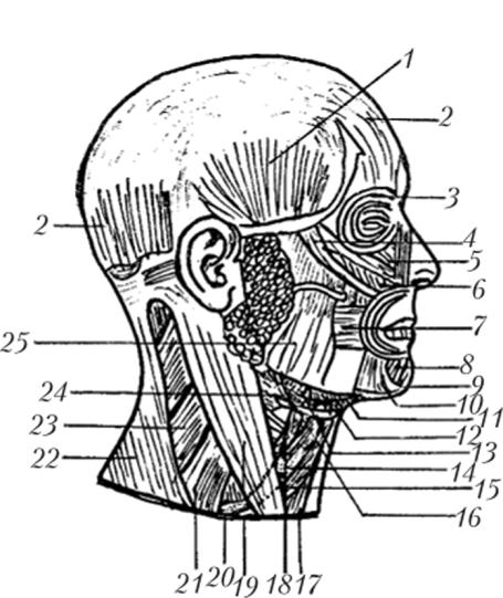 Мышцы головы и шеи (вид сбоку)