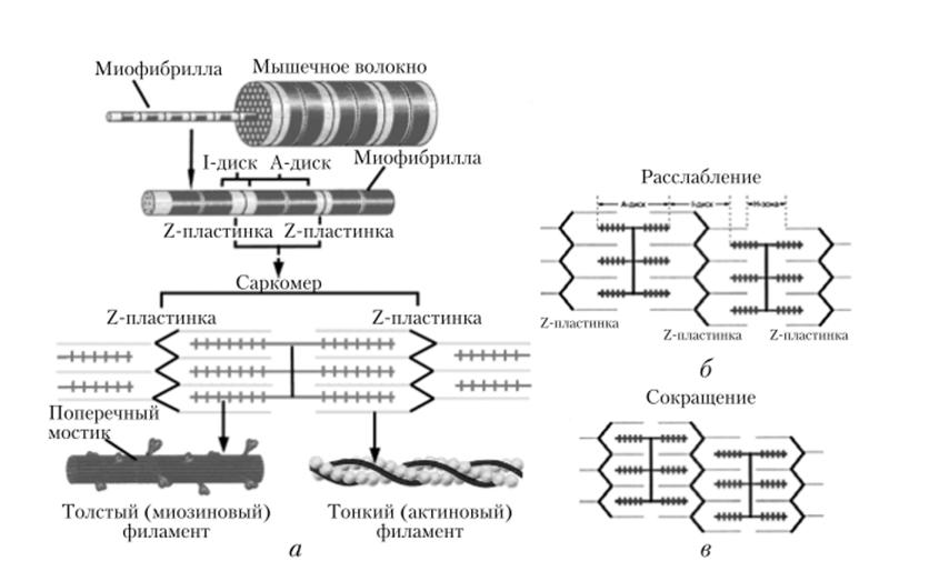 Механизмы и режимы мышечного сокращения