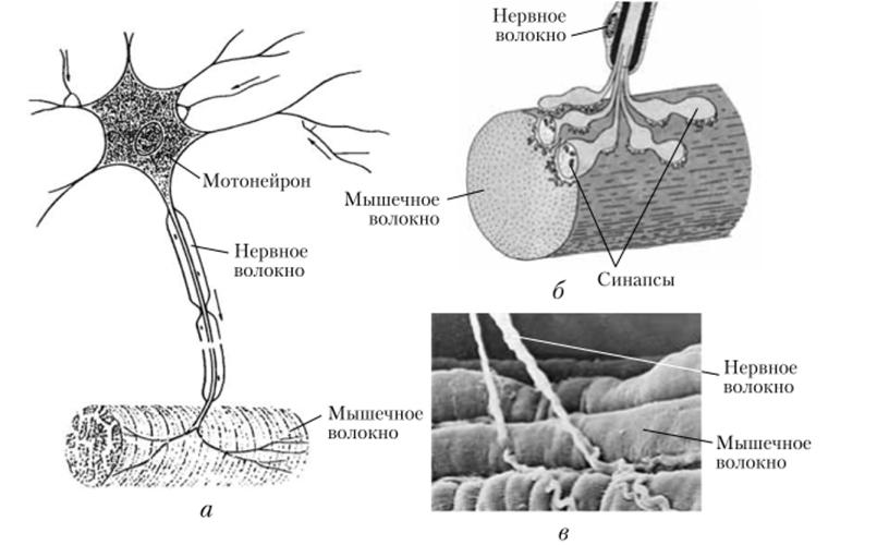 Нервно-мышечное соединение