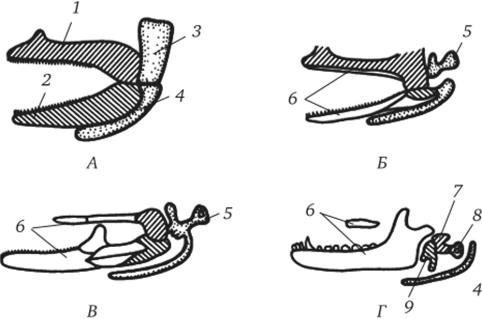 Эволюция двух первых висцеральных жаберных дуг позвоночных