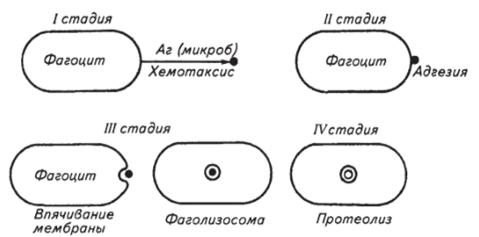 Стадии завершенного фагоцитоза
