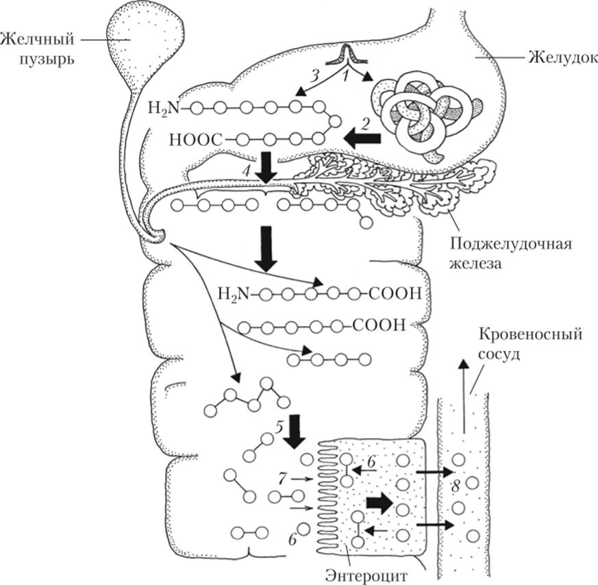 эмвази переваривание и всасывание белков в жкт картинки прошествии
