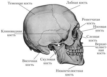 Названия порных костей черепа