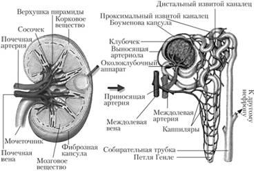 Мочевыделительная система, Строение и функция мочевыделительной ...