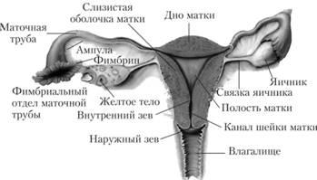 foto-zhenskogo-organa-vnutri-vlagalisha