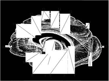 Ассоциативные волокна. Проекция на медиальную поверхность полушария конечного мозга