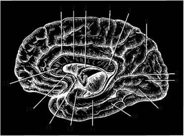 Медиальная поверхность конечного мозга