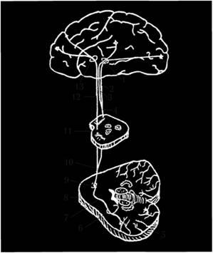 Корково-мозжечковый путь