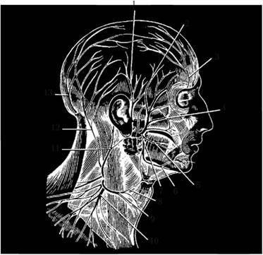 Ветви лицевого нерва и шейного сплетения
