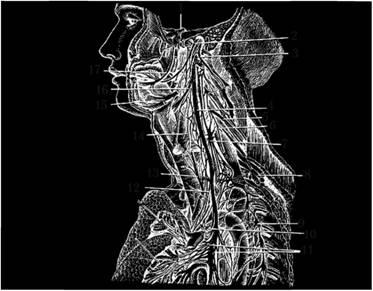 Нервы головы, шеи и грудной полости
