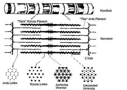 Схема строения саркомера