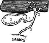 Схема желчевыводящих путей