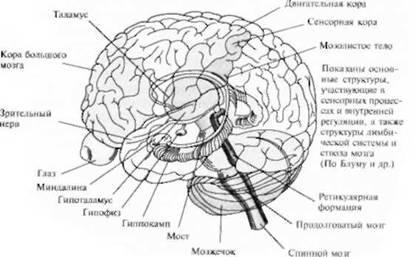 Центр сексуального удовольствия в головном мозге