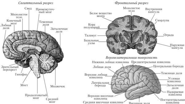 Схема строения головного мозга