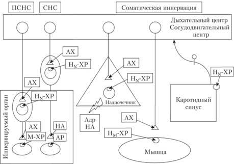Схема локализации холино- и